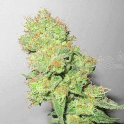 Y Griega CBD - Medical Seeds - 5 & 10 stk. Feminiseret Cannabisfrø