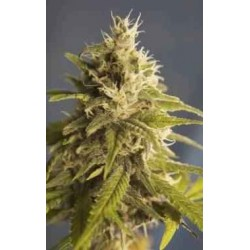GG 1 (PURE Indica) - The House of the Great Gardener - 6 stk. Feminiseret Cannabisfrø