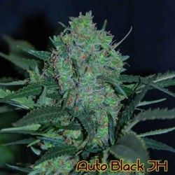 Auto Black JH - Original Sensible Seeds - 5 stk. AutoFem Cannabisfrø