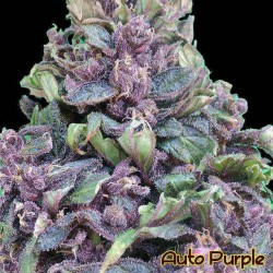 Auto Purple - Original Sensible Seeds - 5 stk. AutoFem Cannabisfrø