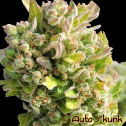Auto Skunk - Original Sensible Seeds - 5 stk. AutoFem Cannabisfrø