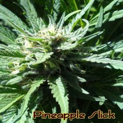 Pineapple Slick - Original Sensible Seeds - 5 stk. Feminiseret Cannabisfrø