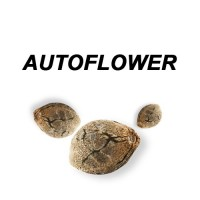 Autoflower Cannabisfrø